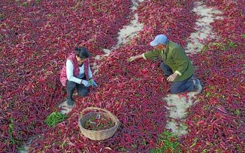 新疆巴州:颗粒归仓