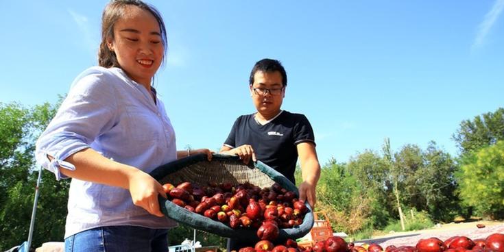 托克逊县8万亩红枣进入盛果期