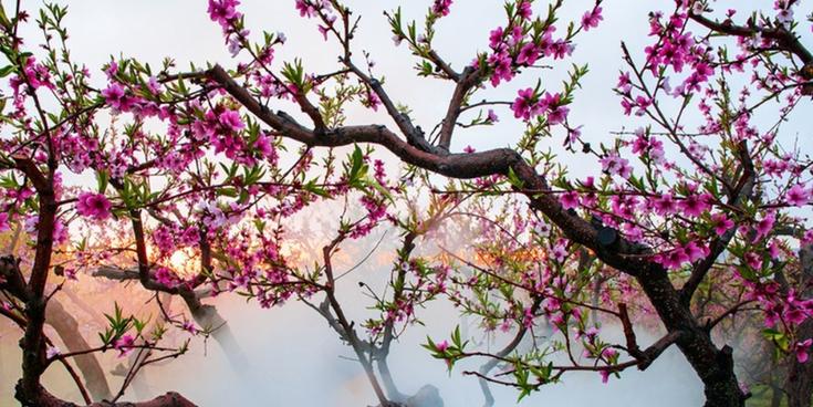 【高清组图】新疆霍尔果斯格干沟牧场大片桃花盛开美如画