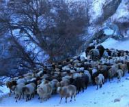 伊犁河谷牧民转场