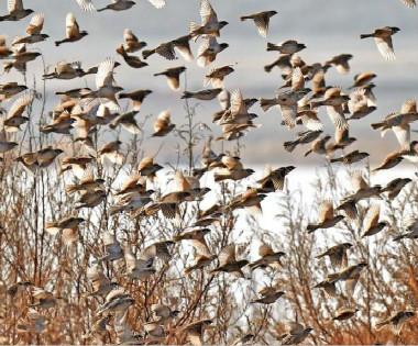 成千上万只麻雀在克拉玛依金龙湖上空飞翔