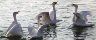 库尔勒孔雀河封冻 越冬天鹅转场杜鹃河