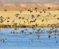 野鸭栖息阿克苏河