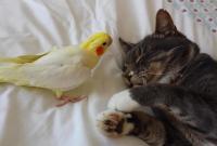猫在面对玄凤鹦鹉的调戏已经无动于衷