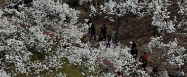 库尔勒数千棵香梨树开花迎客来