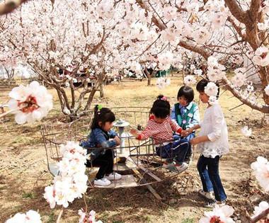 哈密:杏花村里尽享无限春光