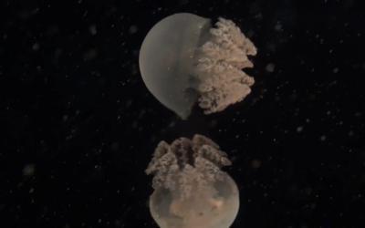 唯美透明水母的畅游