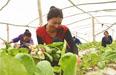 乌什县:蔬菜合作社拓宽村民致富路