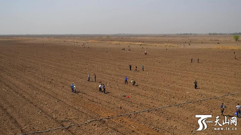 今年昌吉市北部荒漠退耕还林10.5万亩
