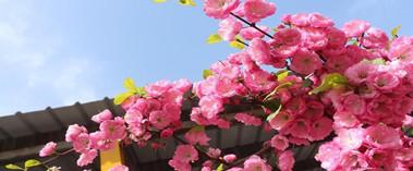 克拉玛依市独山子区满城春色花团锦簇