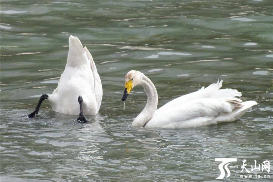 天鹅栖息库尔勒孔雀河
