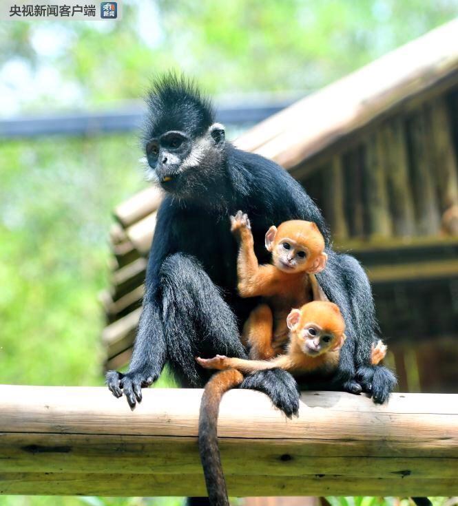 澳门赌博场:世界首例珍稀黑叶猴龙凤胎在广州繁育成功