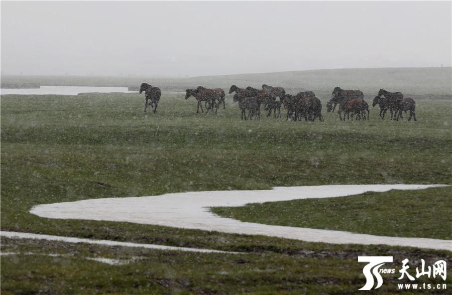 新疆喀纳斯景区五月飞雪