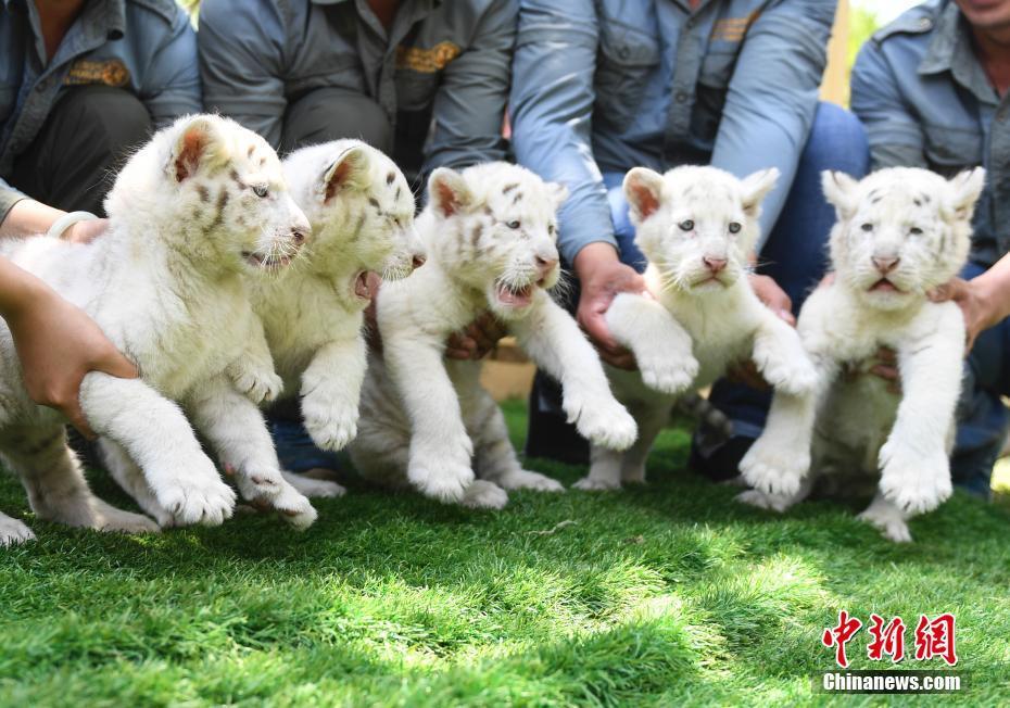 皇家彩票网投信誉平台:济南野生动物世界雪虎五胞胎与游客见面