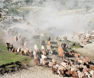 福海县牲畜转向夏牧场