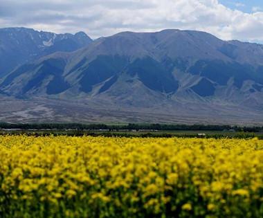 新疆巴里坤草原千亩油菜花竞相绽放美不胜收