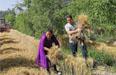 驻村澳门最新博彩娱乐网站队帮助困难家庭抢收小麦