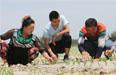 沙雅县:加强复播玉米苗期管理