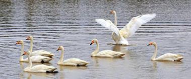 炎炎夏日托克逊县飞来一群白天鹅