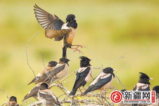 """新疆迎来鸟类迁徙""""大年"""""""