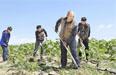 哈巴河县:种植葵花促农增收