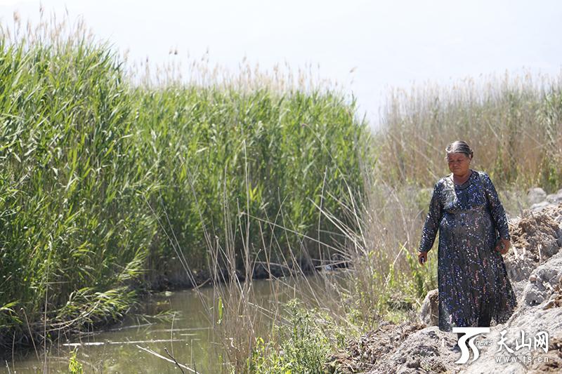 守护芦苇荡31年 巩留县最大自然湿地的守望者