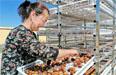乌恰县:杏成熟烘干忙