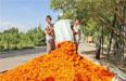 新疆特色种植铺就乡村致富路