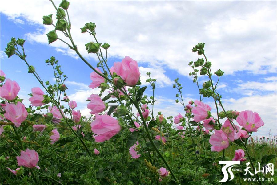 裕民县迎来最美山花季