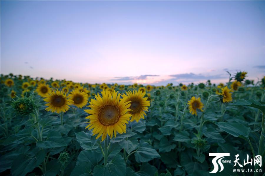 【疆遇风光】克拉玛依市乌尔禾区向阳花海醉游人