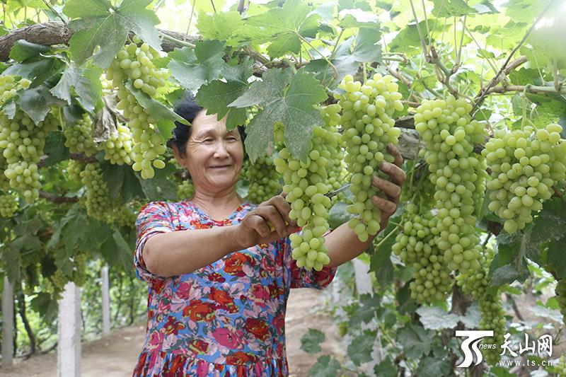 鲁克沁的葡萄熟了