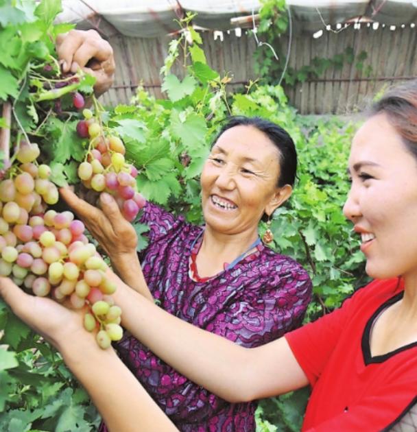 绿色有机葡萄助农增收