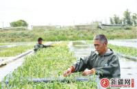 鱼菜共生 蟹稻共长 生态农业满了农民口袋