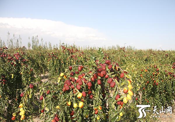 新疆林果产业提档升级