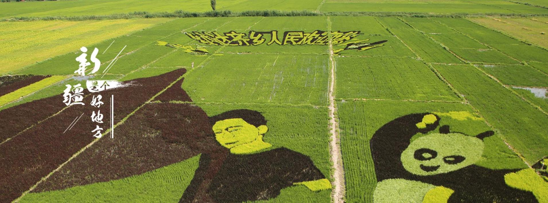 察布查尔县巨型稻田画进入最佳观赏期