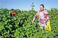 吉木萨尔县:蔬菜采摘迎客来