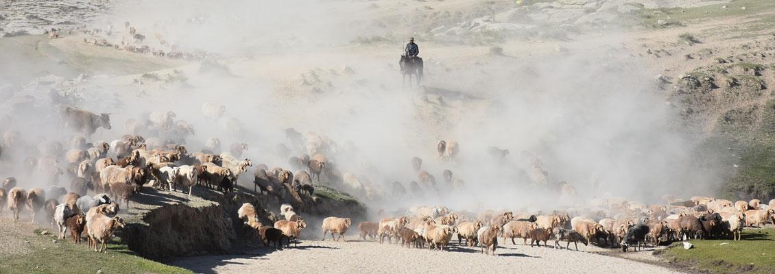 实拍福海县萨尔布拉克牧民赶成群牛羊大转场