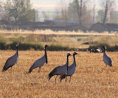 蓑羽鹤飞舞在巴里坤草原