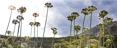 和静:野韭菜花吸引八方游客
