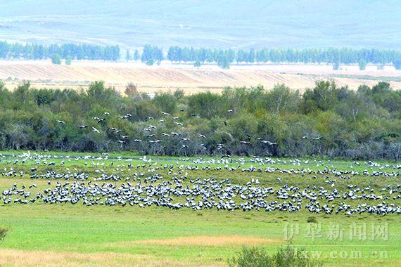 昭苏湿地迎来大批候鸟