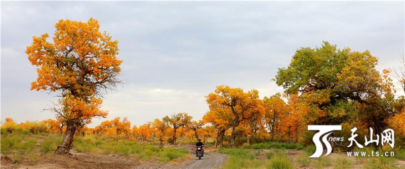 托里县:大漠红颜胡杨林