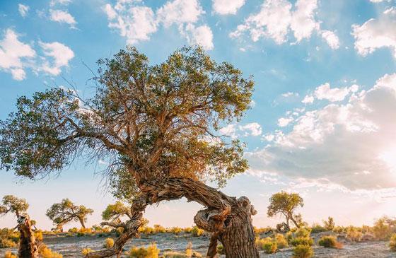 克拉玛依乌尔禾30万亩胡杨林披金装成斑斓世界