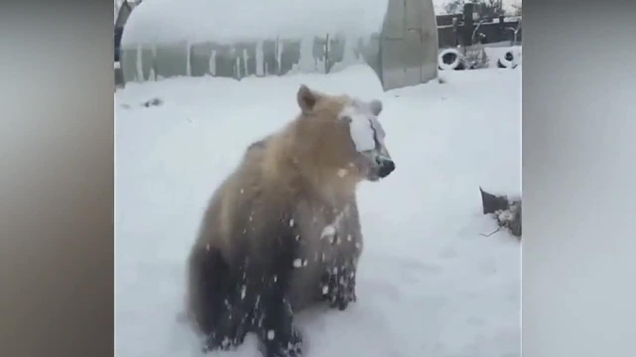 胖灰熊见到雪后玩起来就像个300斤的熊孩子