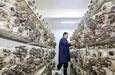 菌類種植項目助脫貧