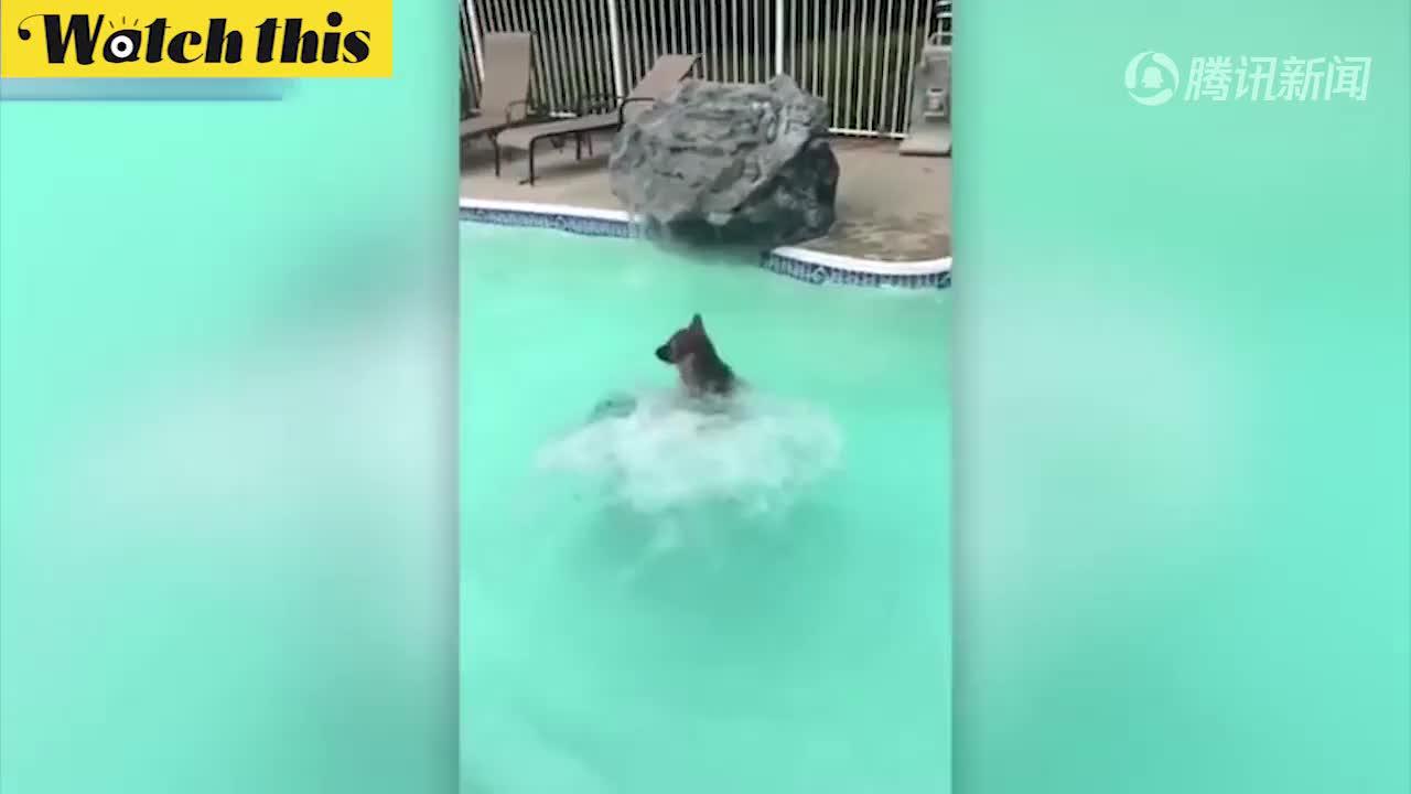 主人落水了!忠诚狗狗跳入游泳池咬着主人头发把她拉上岸