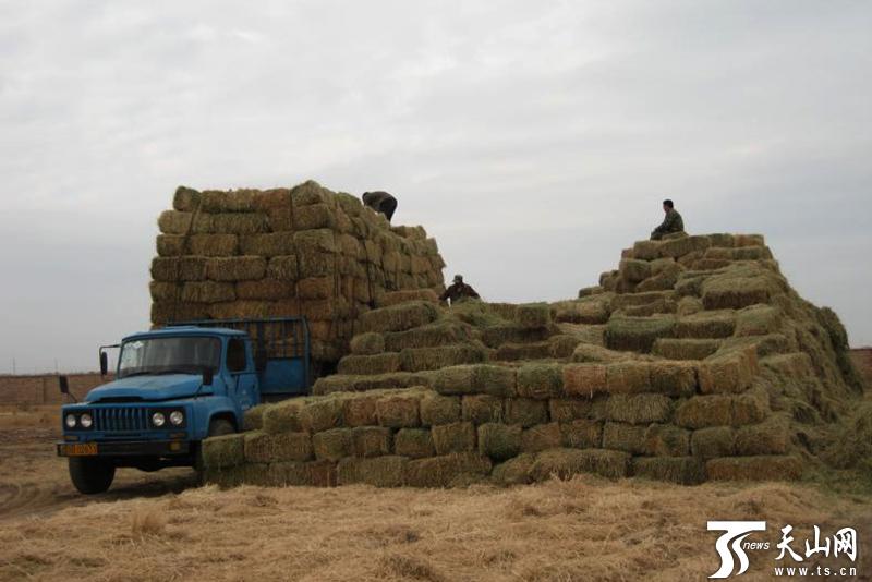 300余吨饲草料助89匹圈养普氏野马安全过冬
