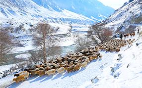 昭苏县牧民赶成群牲畜前往温暖冬牧场越冬