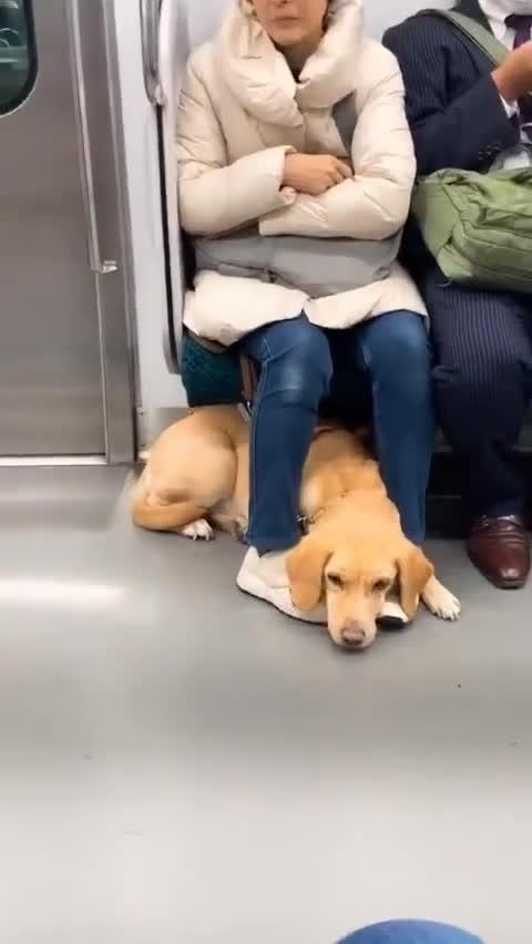 非常乖的导盲犬