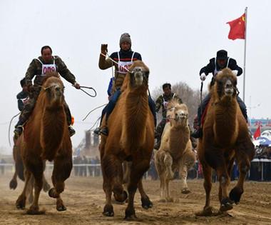 巴州首届赛骆驼大会在和硕县举行