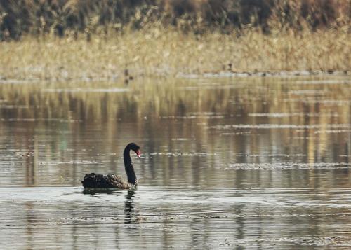 黑天鹅现身阿克苏国家湿地公园